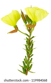 Evening primrose on white background. Isolated with clipping path.