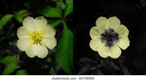 Evening primrose in visible light (left) and false-color reflected UV (right).