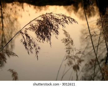 Evening reed