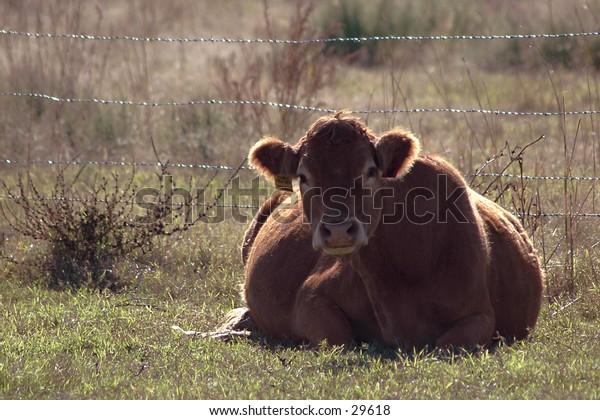 Evening Rest: Resting cow in Yukon, Oklahoma
