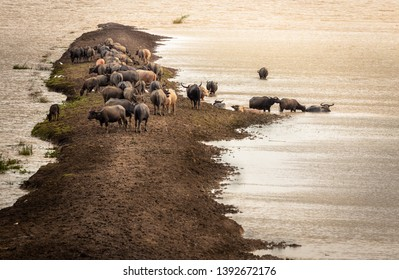 Evening scenery before sunset at Serengeti National Park  Buffaloes in Thale Noi, Songkhla Lake, Phatthalung.