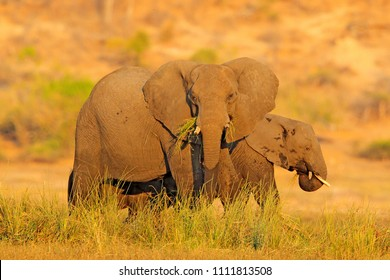 Evening sun in Africa. Elephant walking in water with yellow and green grass, Big animal in nature habitat, Chobe sunset, Botswana, Africa. Beautiful evening light with elephant.