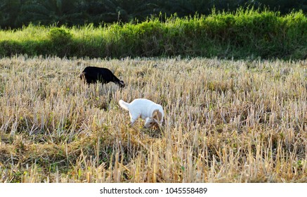 In the evening the Sun send golden light herd goats eating grass in the fields of the country Thailand