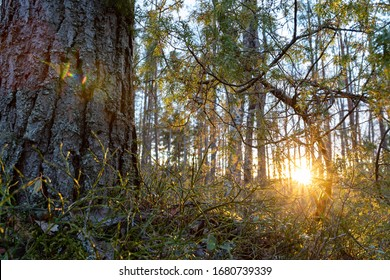 Evening sun shining through the curved juniper branches on the forest floor. Spring landscape. Leafless blueberry bushes in the foreground next to the pine tree trunk. Wild natural forest.