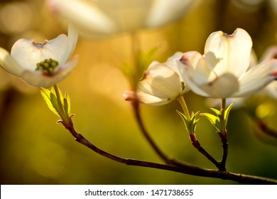 Evening sunlight, Dogwood in bloom, Webster County, West Virginia, USA