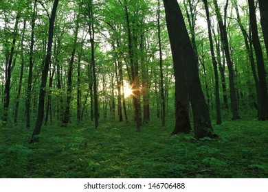 Evening sunshine in the green forest. Landscape.