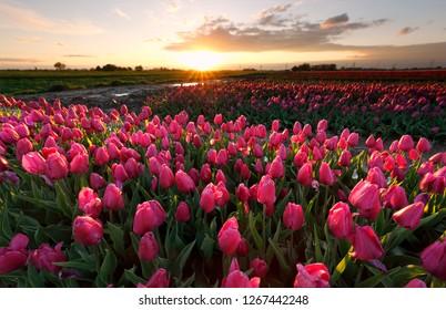 evening sunshine over pink tulip field, Netherlands