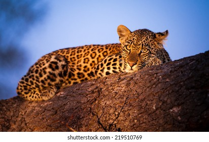 Evening twilight covers the sky in wonderful hues of blues, as a young Leopard cub rests up on a fallen tree.
