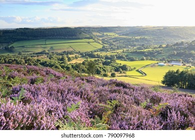 An evening view across the North Yorkshire countryside with flowering.  heather moors in the foreground.