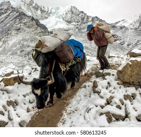 EVEREST REGION, NEPAL - APRIL 4, 2011: Yak caravan on the trek after a snowfall. Transport of loads by local residents is the main source of earnings for them in the Everest region