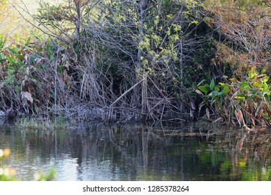 Everglades floating grass and swamp water banks is a natural alligator habitat and bird sanctuary. Daggerwing Nature Center located in Palm Beach Florida near Fort Lauderdale and south Miami.