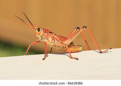 Everglades Lubber Grasshopper Profile