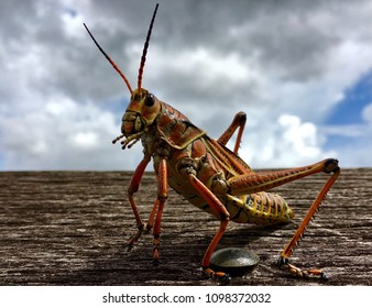 Everglades National Park, Florida, USA - July 22, 2016: Grasshopper in homestead in the Everglades