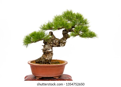 Evergreen bonsai isolated on white background