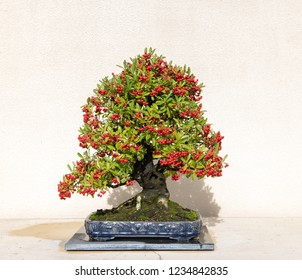 Evergreen Bonsai Tree with Red Berries