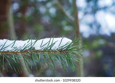 Evergreen branch at close up with shallow depth of field covered in snow
