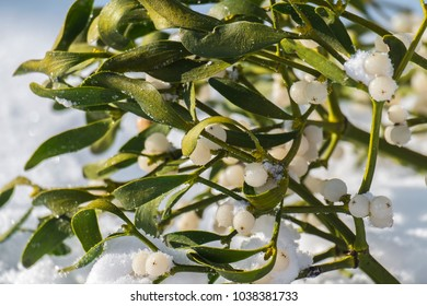 Evergreen branch of mistletoe with ripe berries on snow (Viscum album)