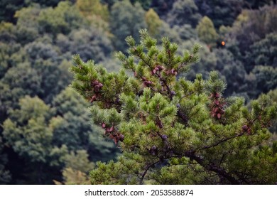 Evergreen bush or tree in the foreground with bluish brush in the background
