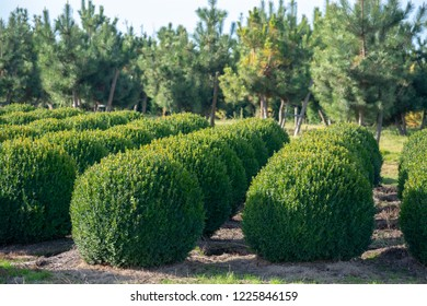 Evergreen buxus or box wood nursery in Netherlands, plantation of healthy big round box tree balls in rows during invasion of box wood moth in Europe