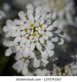 Evergreen Candytuft (Iberis sempervirens), blossoms of springtime