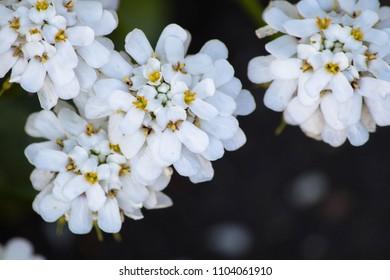 Evergreen candytuft (iberis sempervirens) flowers