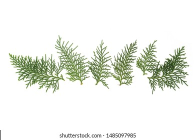 Evergreen cedar cypress pine leaf isolated on white