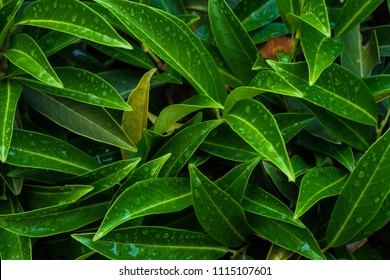 Evergreen cherry laurel plant as a antural backgrund with closeup details