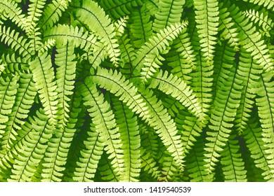 Evergreen fern leaves closeup in the forest. dark green foliage background for design. Sweet fern - Polypódium vulgáre - Shutterstock ID 1419540539