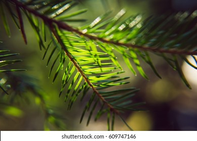 Evergreen fir in the forest on a sunny summer day