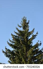 evergreen fir tree
