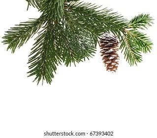 evergreen fir tree branch on white for design