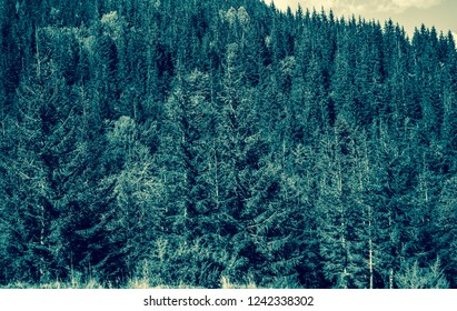 Evergreen fir trees on hills in Carpathian mountains.Autumn season landscape.Instagram vintage film filter with fading fall colors.Aerial shot of forest with pines in Europe
