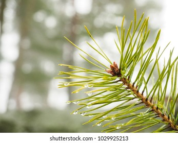 Evergreen fir with water droplet, at shallow depth of field in forest and dew