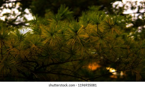 evergreen firework lookalike coniferous tree inside forest at dawn yellow green leafs leaves