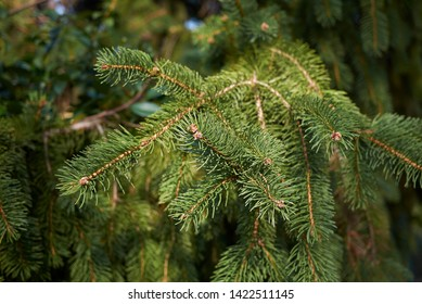evergreen foliage of Picea abies tree