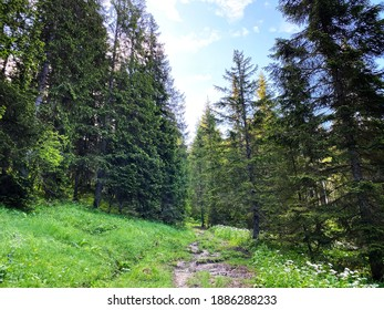 Evergreen forest or coniferous trees over the Iberig region and on the slopes of the Schwyz Alps mountain massif, Oberiberg - Canton of Schwyz, Switzerland (Kanton Schwyz, Schweiz)