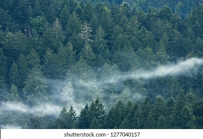 Evergreen forest on foggy morning