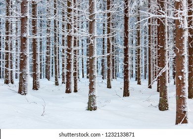 Evergreen forest with snow and frost