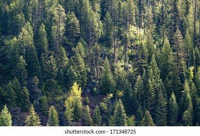 Evergreen Forest Tree Background