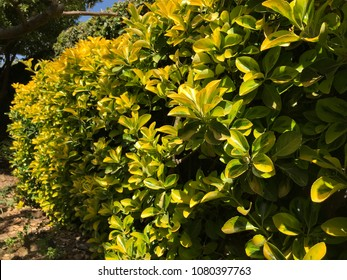 Evergreen Golden Euonymus hedge in italian garden.