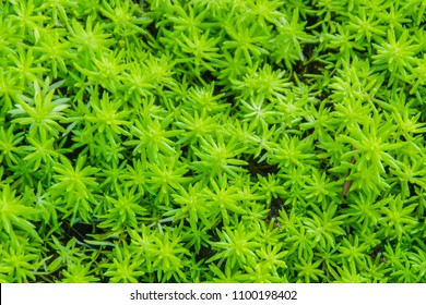Evergreen goldmoss sedum for background. Sedum acre, commonly known as the goldmoss stonecrop, mossy stonecrop, goldmoss sedum, biting stonecrop and wallpepper , a flowering plant family Crassulaceae.