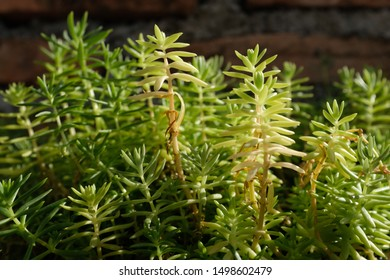 Evergreen goldmoss sedum for background. Sedum acre, commonly known as the goldmoss stonecrop, mossy stonecrop, goldmoss sedum, biting stonecrop and wallpaper , a flowering plant family Crassulaceae