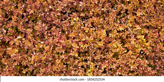 evergreen hedge background texture in Park hedgerow