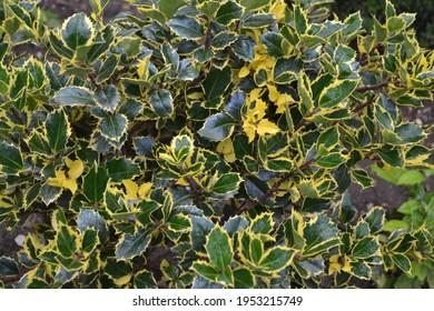 Evergreen highclere Holly Bush 'Golden King' (Ilex x altaclerensis)