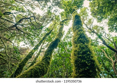 Evergreen laurel forest. Trees covered with moss and lichen, Anaga Rural Park in the northeast of Tenerife Canary Islands Spain