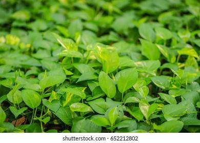 Evergreen leaves background of devil's ivy (Epipremnum aureum)