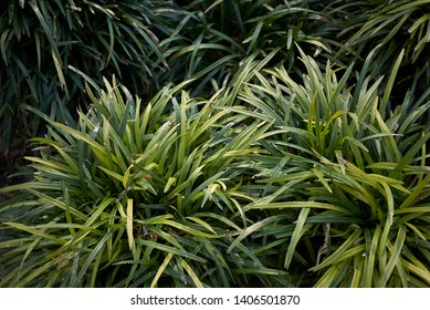 evergreen leaves of Liriope muscari plants in a flowerbed