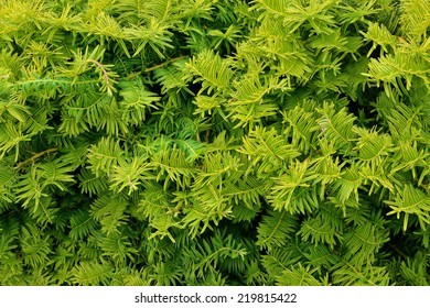 Evergreen luscious foliage