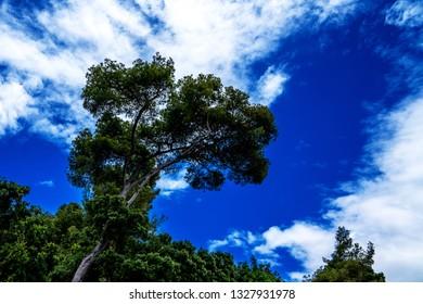 Evergreen Maritime tree on the rock against blue sky. Pine tree at Liguria coast. Coastal beautiful landscape with giant pine tree. Maritime pine or Sea pine - a symbol of the Mediterranean.