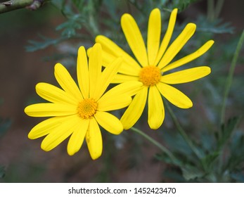 Evergreen mature shrub of Euryops pectinatus with finely cut gray-green foliage and bright yellow daisy-like flowers. Grey-leaved euryops is a species of flowering plant in the family Asteraceae.